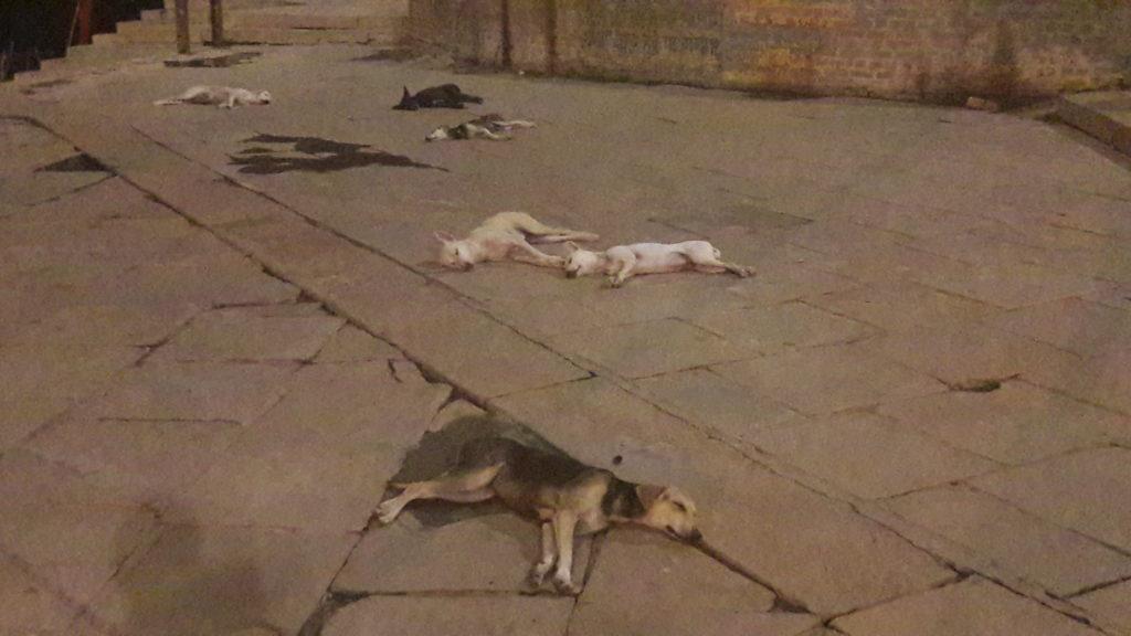 on voit 5 chiens qui dorment sur le sol en pierre de Varannasi. C'est une journée de Mai, il fait très chaud!