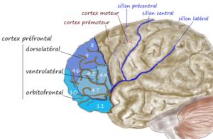 description du cortex préfrontal